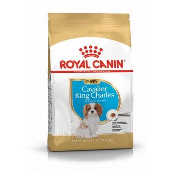 Karma Cavalier King Charles Puppy 1,5 kg