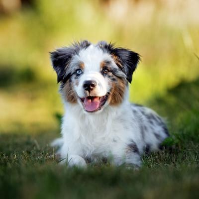 Merle, czyli pies marmurkowy