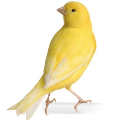 Opieka nad kanarkiem