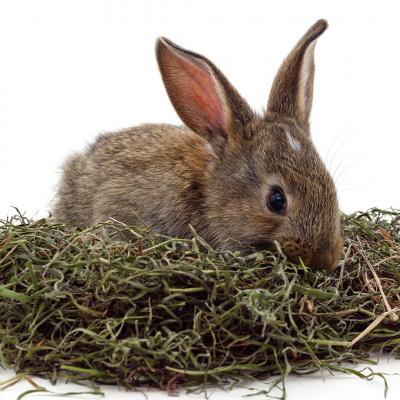 Siano w diecie królika